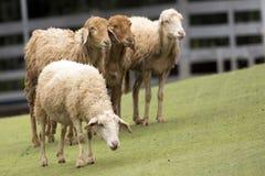 一只棕色绵羊的图象在农场 免版税库存照片