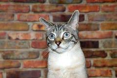 一只棕褐色和黑虎斑猫的画象与为难的表示的 库存照片