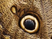 一只森林巨型猫头鹰蝴蝶的翼的片段与眼睛斑点的 免版税库存图片