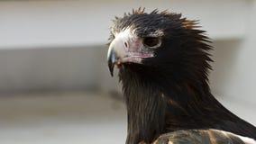 一只楔子被盯梢的老鹰的画象 图库摄影