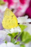 一只橙色禁止的白蝴蝶的宏指令在花开花的 免版税图库摄影