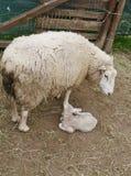 一只正义出生的羊羔在春天 库存图片