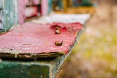 一只死的蜂的宏观图象从一间蜂房的在behive 蜂问题和问题与杀虫剂和其他毒物 死的蜂说谎为 免版税图库摄影
