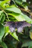 一只死的papilio memnon蝴蝶的特写镜头在叶子的 免版税库存照片