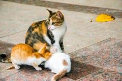 一只母亲猫和两小猫在街道上 图库摄影