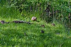 一只母亲野鸭鸭子用她的鸭子沿湖,南方公园走 库存图片