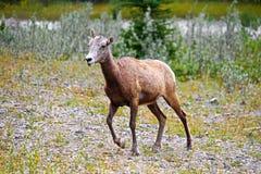 一只母大角野绵羊在岩石地面走 免版税库存图片