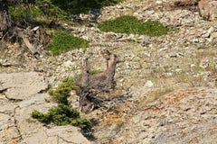 一只母大角野绵羊被伪装入背景 免版税库存照片