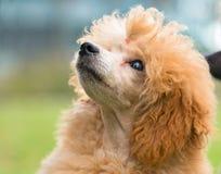 一只母杏子狮子狗的画象 免版税库存照片