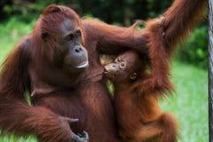一只母猩猩的画象与一个婴孩的狂放的 印度尼西亚 加里曼丹婆罗洲海岛  免版税库存照片