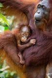 一只母猩猩的画象与一个婴孩的狂放的 印度尼西亚 加里曼丹婆罗洲海岛  免版税库存图片
