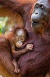 一只母猩猩的画象与一个婴孩的狂放的 印度尼西亚 加里曼丹婆罗洲海岛  库存照片