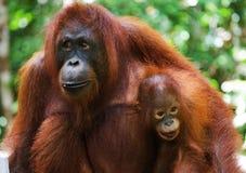一只母猩猩的画象与一个婴孩的狂放的 印度尼西亚 加里曼丹& x28海岛; Borneo& x29; 库存图片