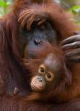 一只母猩猩的画象与一个婴孩的狂放的 印度尼西亚 加里曼丹& x28海岛; Borneo& x29; 免版税库存照片