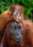 一只母猩猩的画象与一个婴孩的狂放的 印度尼西亚 加里曼丹& x28海岛; Borneo& x29; 库存照片