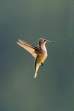 一只母红宝石红喉刺莺的蜂鸟, Archilochus colubris,盘旋 库存图片