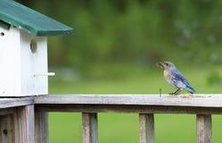 一只母蓝鸫拿着在她的嘴的一只昆虫,准备喂养她婴孩 图库摄影