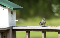 一只母蓝鸫拿着在她的嘴的一只昆虫,准备喂养她婴孩 免版税库存图片
