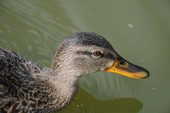 一只母野鸭的头 图库摄影