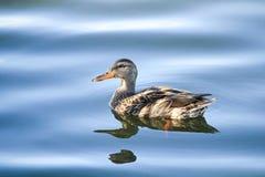 一只母野鸭鸭子在被反映的水中游泳 免版税库存照片