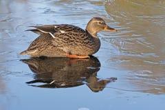 一只母野鸭鸭子坐冰:南安普敦共同性 免版税库存照片