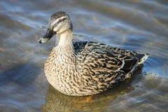 一只母野鸭鸭子的图象 库存照片