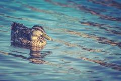 一只母野鸭鸭子 免版税库存照片