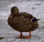 一只母野鸭 免版税库存图片