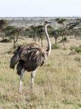 一只母驼鸟在浩大的草原 库存图片