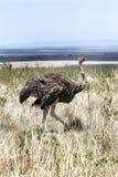 一只母驼鸟在马塞语玛拉草原  免版税库存图片