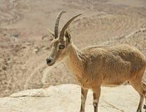 一只母高地山羊的特写镜头在拉蒙火山口的壁架的在以色列 免版税库存照片