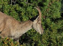 一只母高山高地山羊的头在瑞士阿尔卑斯 库存图片