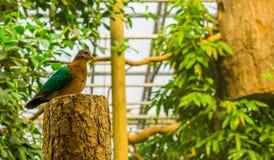 一只母鲜绿色鸠的画象坐树干,从印度,与五颜六色的全身羽毛的鸟的热带鸽子 免版税库存图片