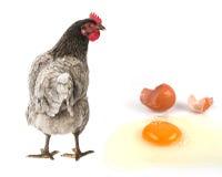 一只母鸡用鸡蛋 库存照片