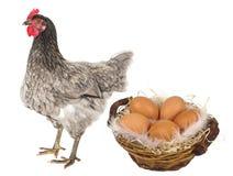 一只母鸡用鸡蛋 图库摄影