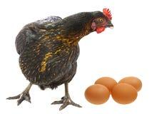 一只母鸡用鸡蛋 库存图片
