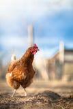 一只母鸡的特写镜头在仓前空地 免版税库存照片