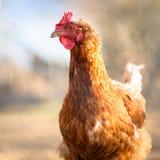 一只母鸡的特写镜头在仓前空地 库存照片