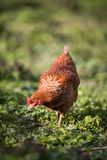一只母鸡的特写镜头在仓前空地 库存图片