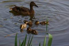 一只母鸭子用它的鸭子 免版税库存照片