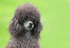 一只母黑狮子狗的画象 免版税库存图片