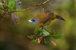 一只母Passerini ` s唐纳雀在分支栖息 免版税库存图片