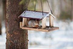 一只毛茸的灰色灰鼠吃向日葵种子和坚果,参加  免版税库存图片