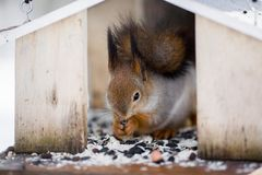 一只毛茸的灰色灰鼠吃向日葵种子和坚果,参加  图库摄影