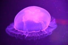 一只水母 免版税库存照片