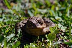 一只池蛙在草坐 免版税图库摄影