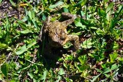 一只池蛙在草坐 免版税库存图片