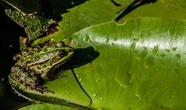 一只池蛙的一张接近的顶视图与黄色眼睛的坐荷花的叶子 库存照片