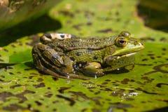 一只池蛙的侧视图坐一片叶子在水中 免版税图库摄影