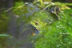 一只池蛙的宏观射击在沼泽的 免版税库存图片